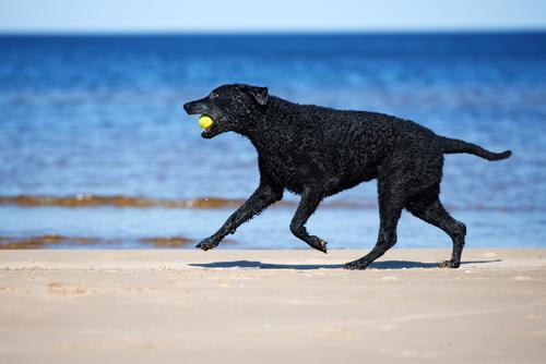 Curly-Coated Retriever running on beach