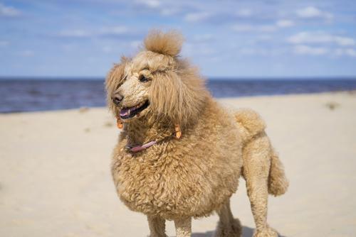 Poodle is a weekend warrior
