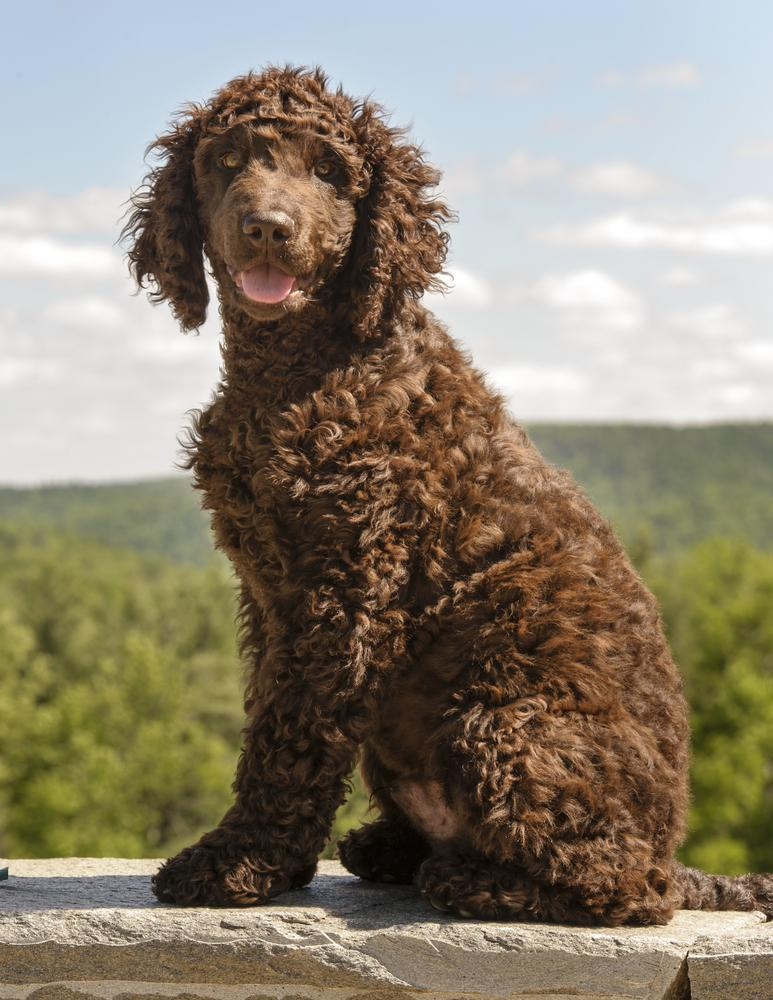 Water Dog Breeds: Dogs...
