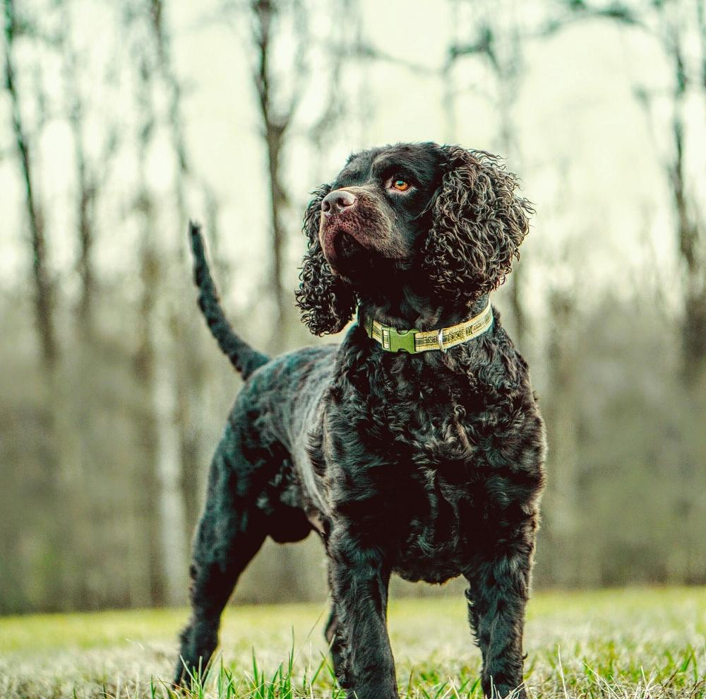 American Water Spaniel looking majestic