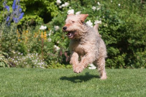Otterhound running in field