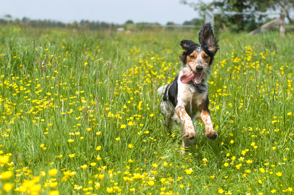 Dog Playing In A Field, Pants Heavily