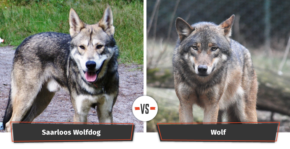 Dog Breed Look Like Dire Wolf