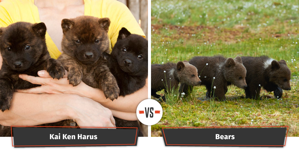 puppies that look like bear cubs