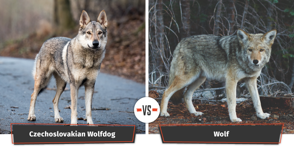 dogs that look like wolves Czechoslovakian wolfdog