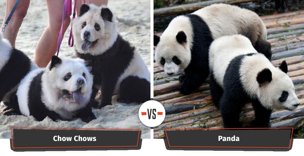 panda bear dogs