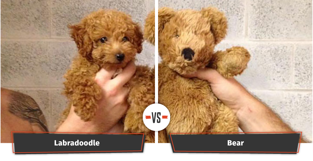 dog that looks like a teddy bear
