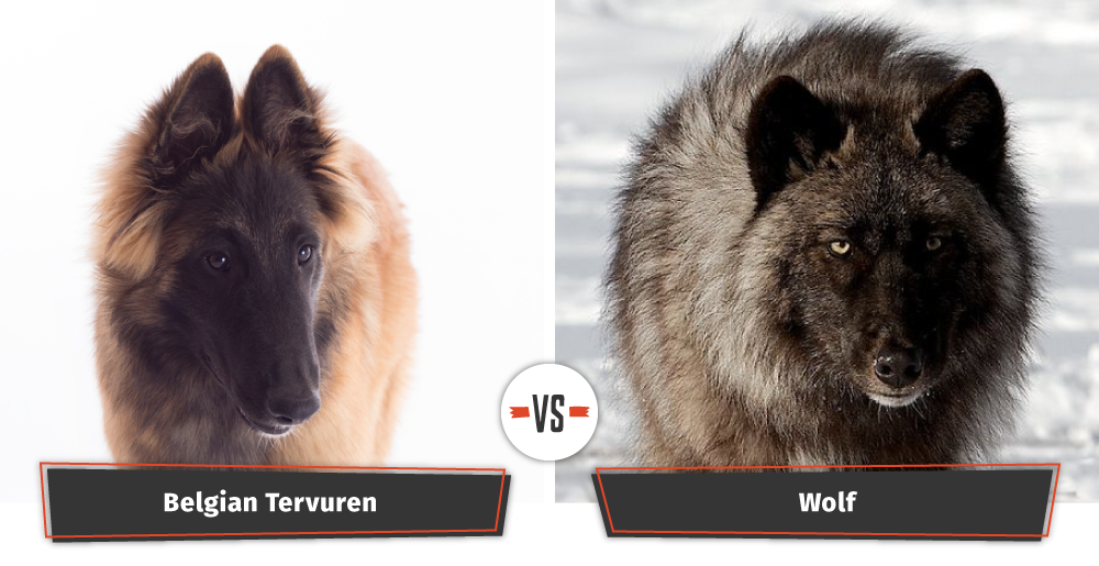 Belgian Tervuren and a wolf