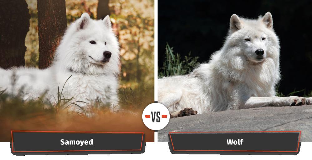 samoyed looks like a wolf