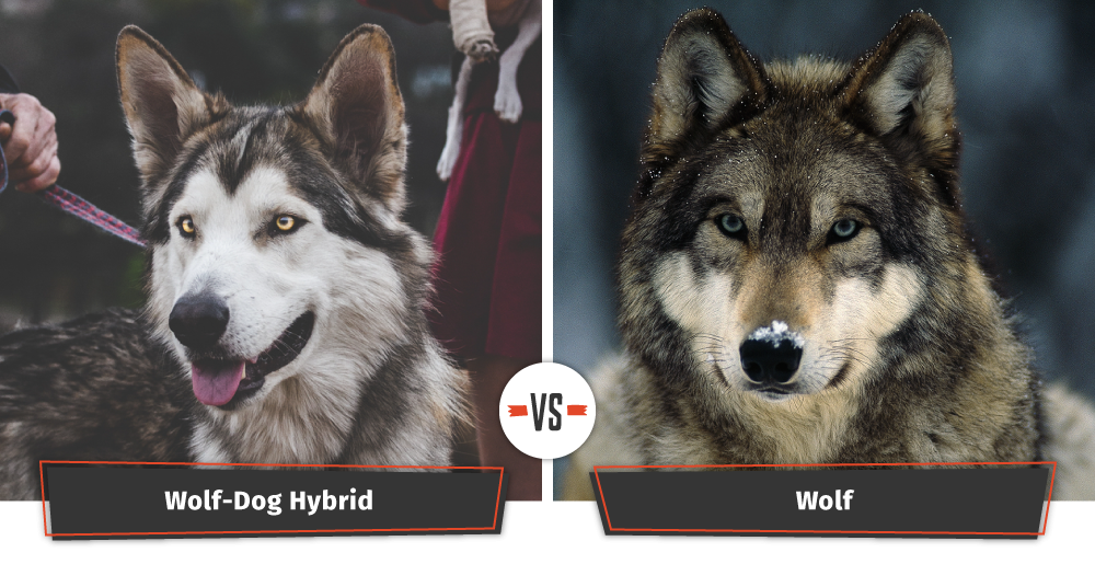 dogs that look like wolves wolf hybrid