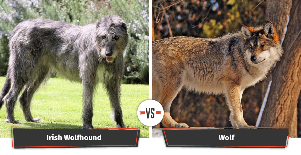 irish wolfhound vs wolf