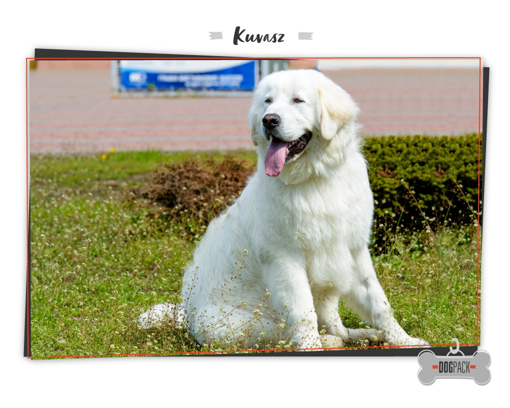 kuvasz large dog breeds