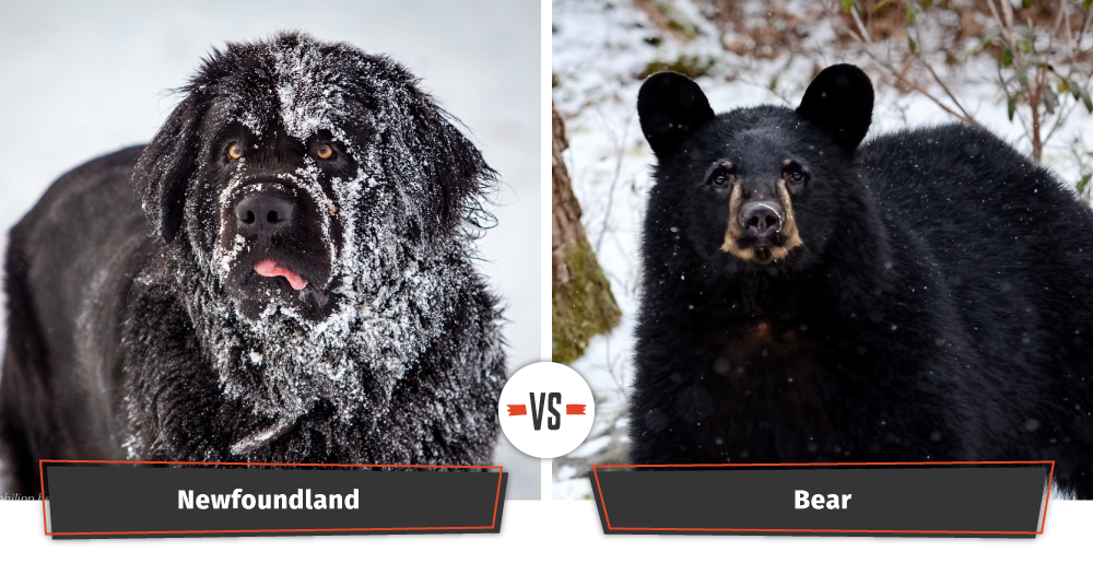 newfoundland looks like a bear