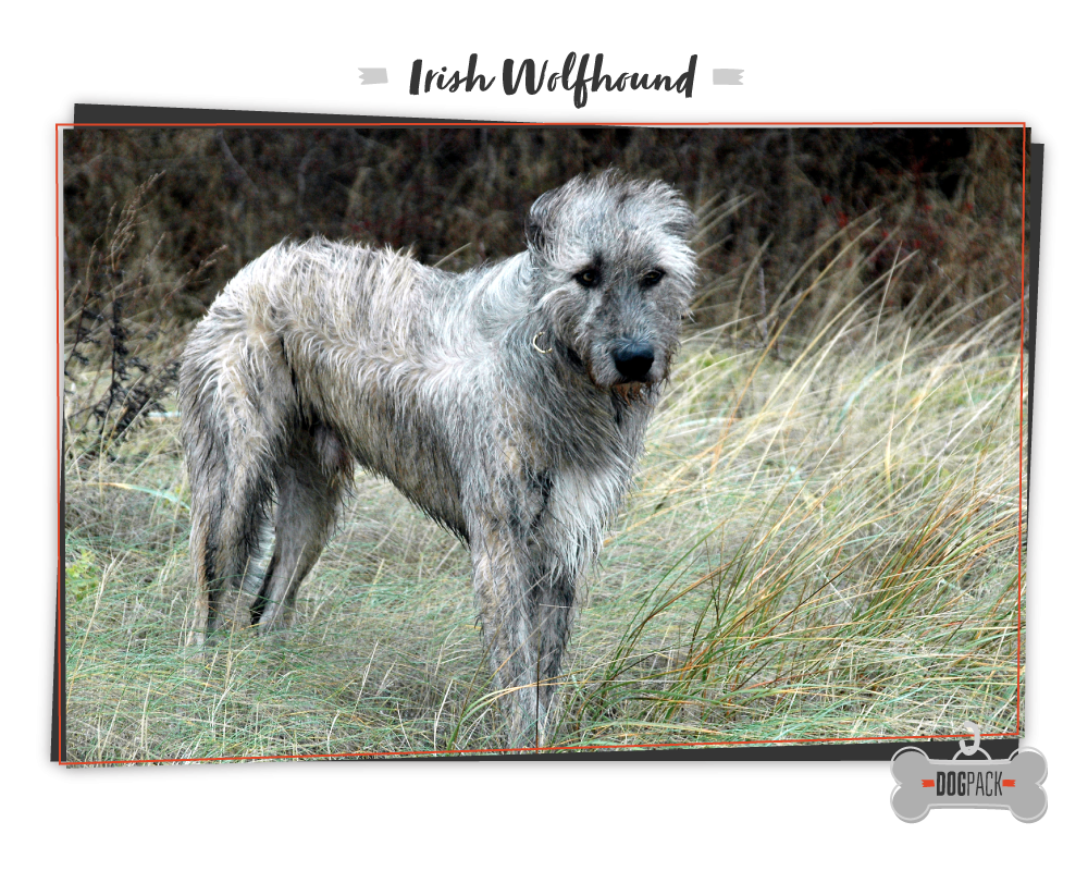 irish wolfhound big dogs
