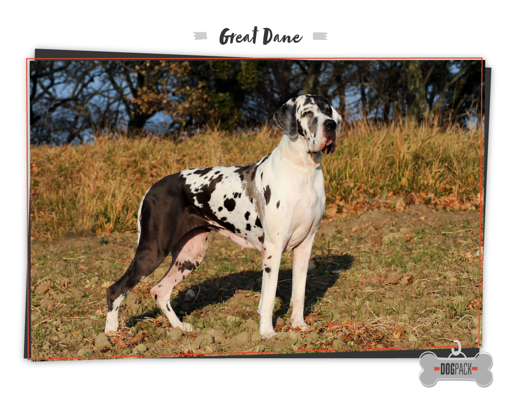 worlds largest dog great dane