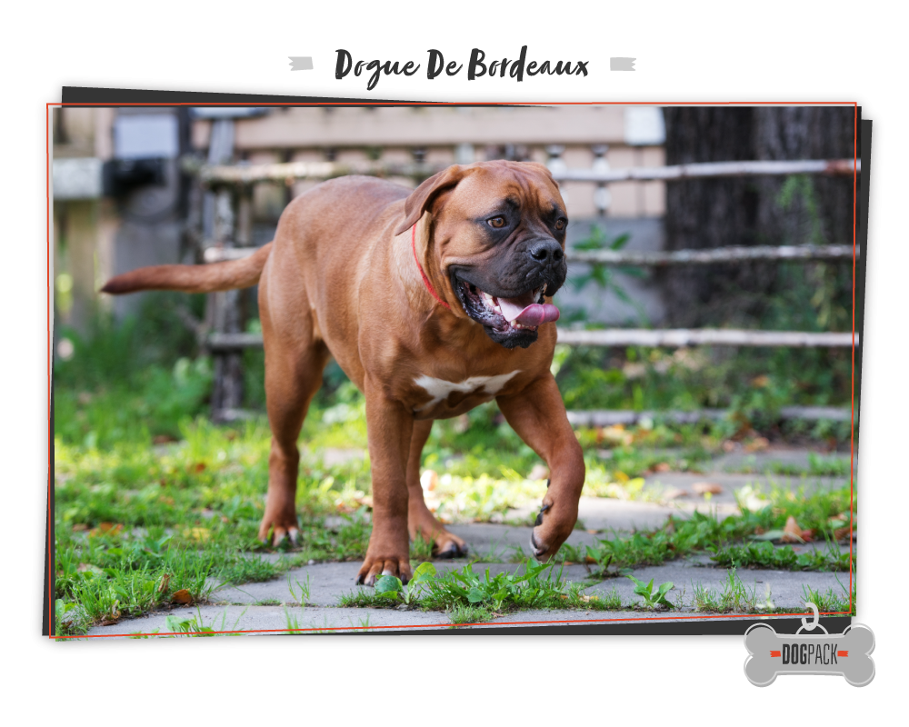Dogue De Bordeaux big dogs