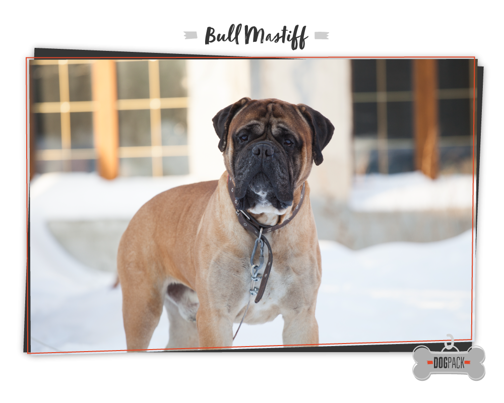 bullmastiff giant dog breeds