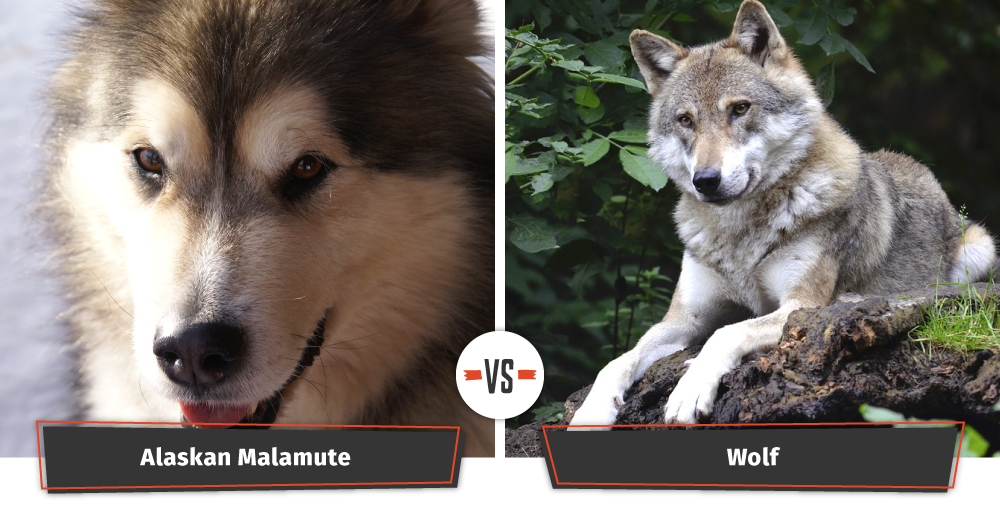 dogs that look like wolves alaskan malamute