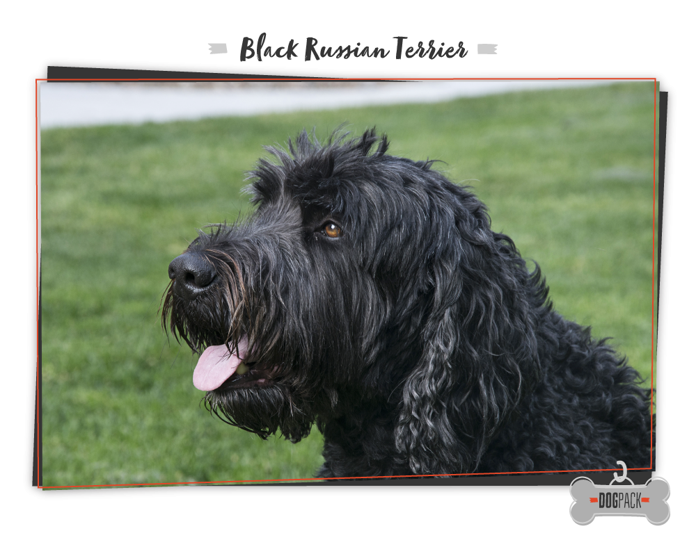 black russian terrier large dog breed
