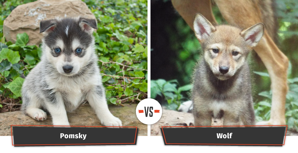 pomsky and wolf cub