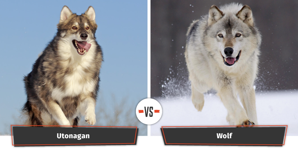 utonagan dog looks like a wolf