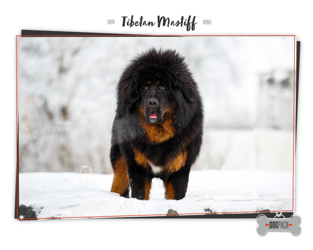 worlds largest dog tibetan mastiff