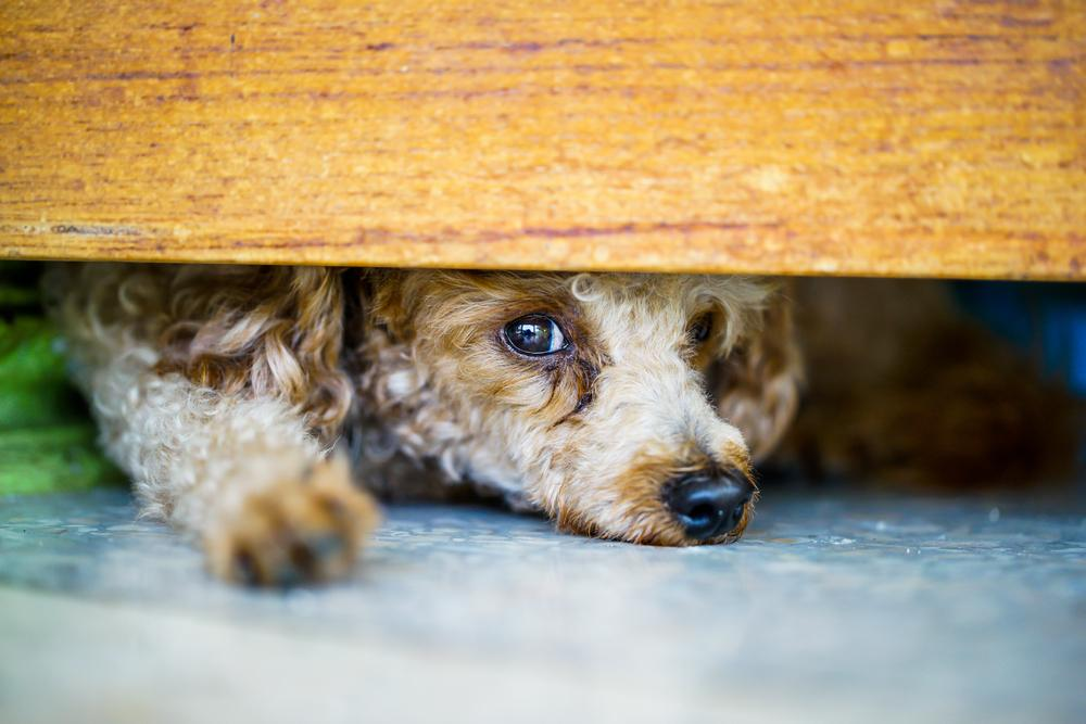 lost dog hiding under table