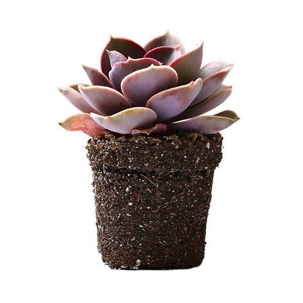 146633 indoor succulent