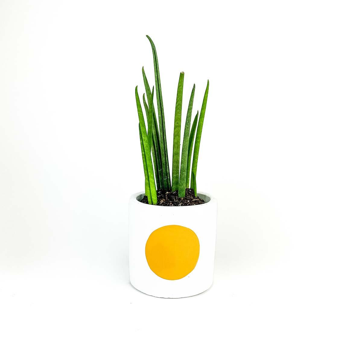 Yellow dot snake plant