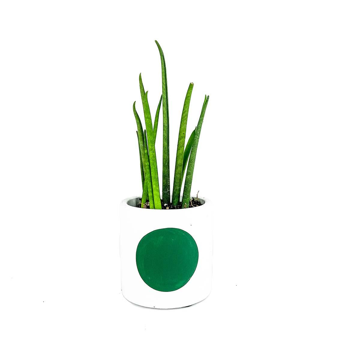 Green dot snake plant