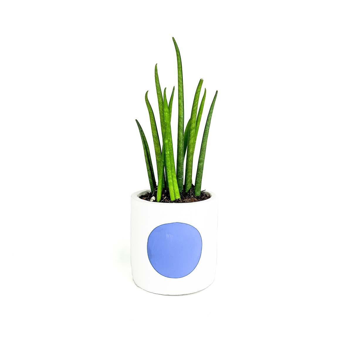 Blue dot snake plant