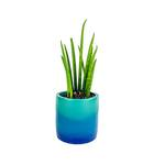 Medium blue gradient snake plant