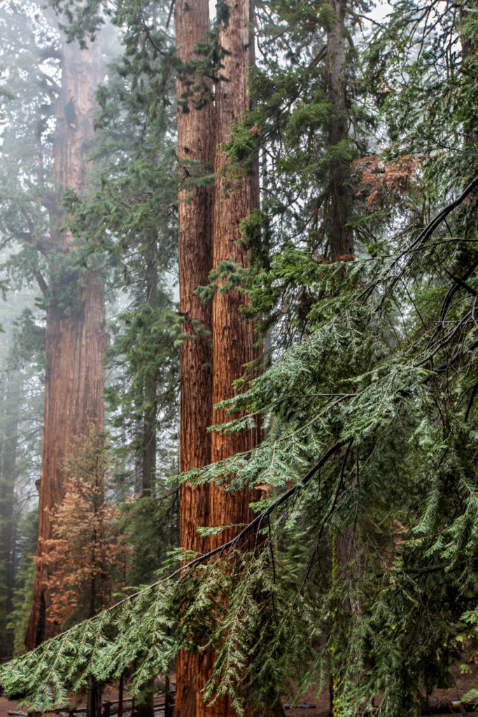 Giant Sequoia Tree at King's Canyon and Sequoia National Park, California