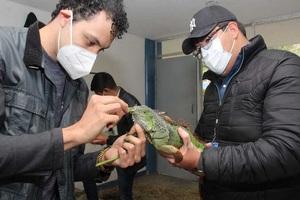 Rescatan iguanas del frío en Tampico son llevadas a escuelas