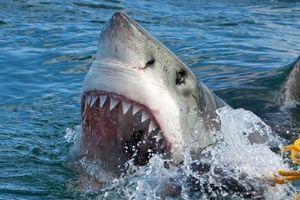 Momento en el que un tiburón blanco devora un ave descuidada...