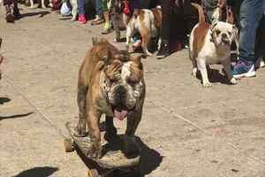 Logan el perro patinador de la UNAM tiene récord G...