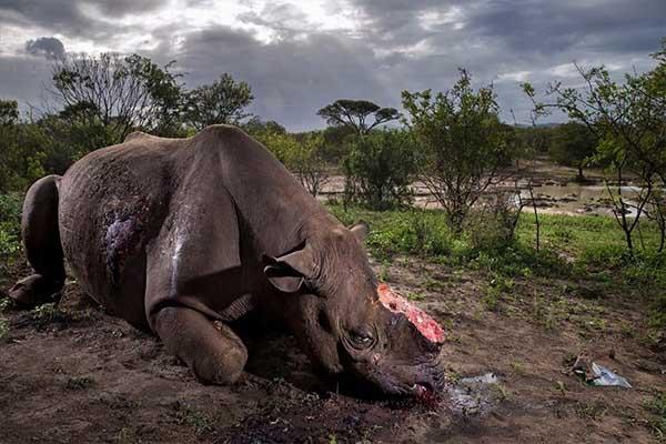 Rinoceronte mutilado, premio a la Mejor Fotografía de Naturaleza 2017