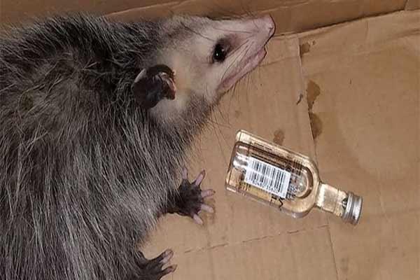 Zarigüeya en Florida entra en una licorería y se emborracha
