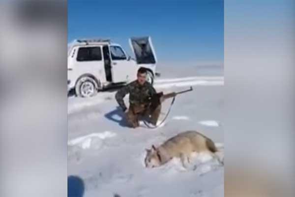 Lobo 'revive' para vengarse de su cazador