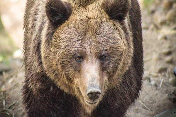 Taxista busca selfie con un oso y este lo mata