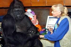 Muere Koko, la gorila capaz de 'hablar' con los humanos (Vid...