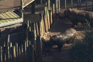Niño cae en la zona de rinocerontes en zoológico de EU