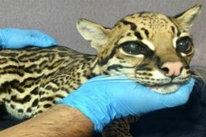 Amputan colmillos a ocelote bebé para 'convertirlo' en gato
