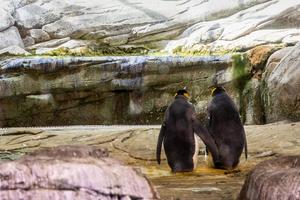 Pareja de pingüinos homosexuales intenta incubar un huevo en...