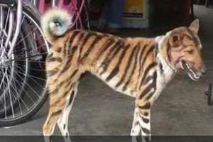 Campesinos pintan perros para que parezcan tigres y proteger...