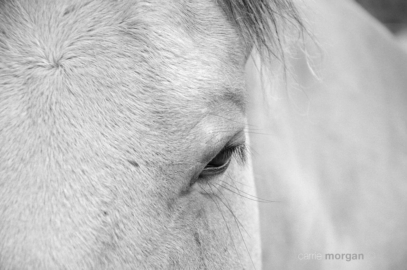 Black and White Australian Stock Horse by Carrie Morgan