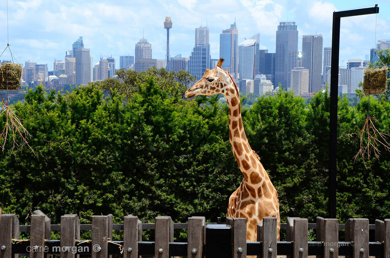 Giraffe at Sydney Zoo by Carrie Morgan