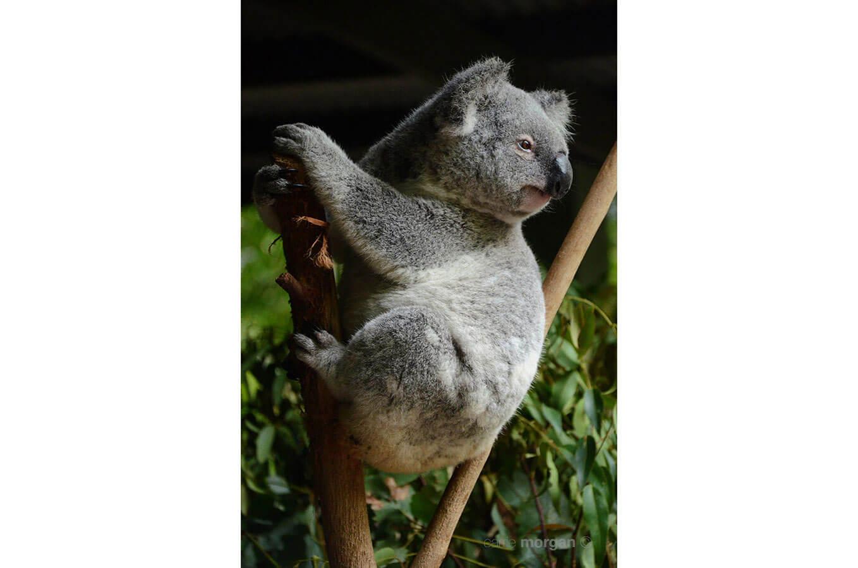 Australia Wild Koala