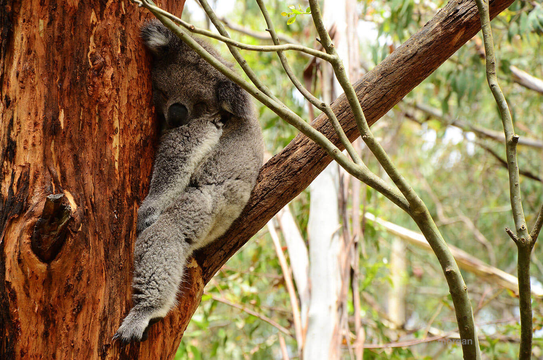 Australia Wild Koala Sleeping