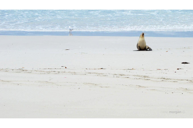 Kangaroo Island Sea Lion by Carrie Morgan